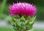 Silymarin/Milk thistle